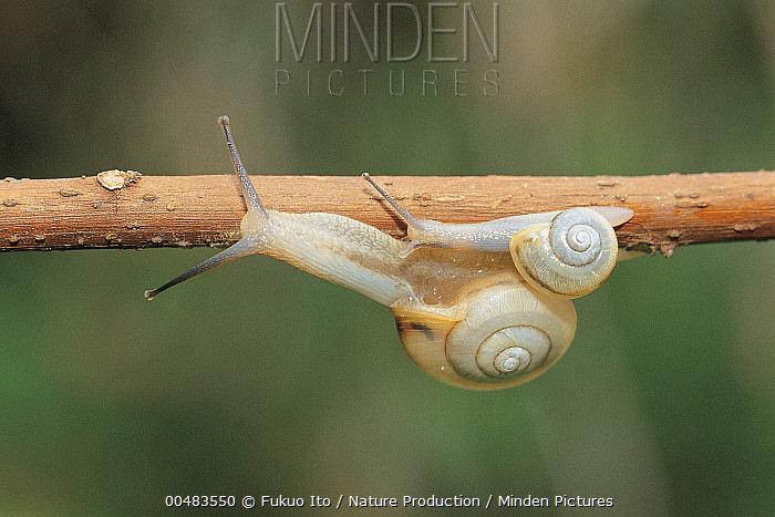 Snails crawling along a stick, Nara, Japan  -  Fukuo Ito/ Nature Production