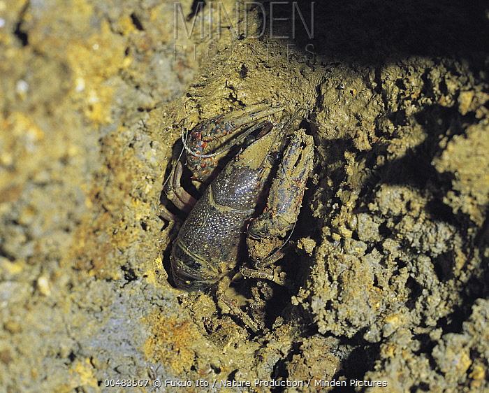Louisiana Crayfish (Procambarus clarkii) in mud burrow, Nara, Japan  -  Fukuo Ito/ Nature Production