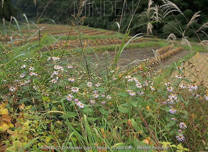 Whiteweed Aster (Aster ageratoides) flowers, Miyagi, Japan  -  Masashi Igari/ Nature Production