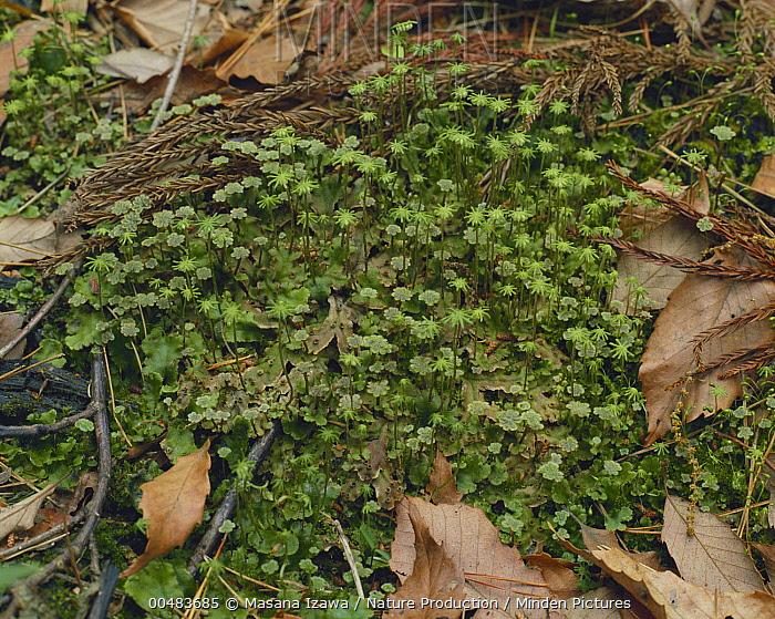 Liverwort (Marchantia polymorpha) plants with sporophyte stalks  -  Masana Izawa/ Nature Production