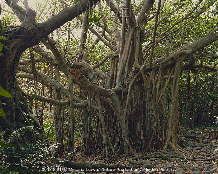 Chinese Banyan Tree (Ficus microcarpa) with many aerial roots, Yakushima, Kagoshima, Japan  -  Masana Izawa/ Nature Production