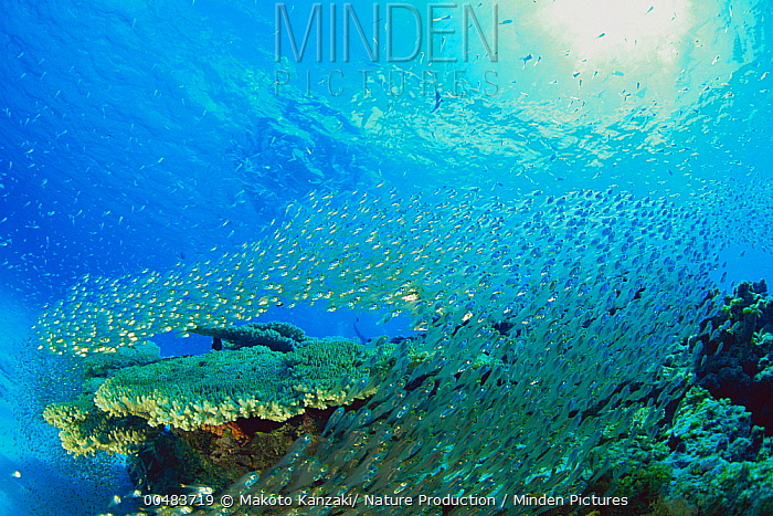 Slender Cardinalfish (Rhabdamia gracilis) school, Tokashikijima, Okinawa, Japan  -  Makoto Kanzaki/ Nature Productio