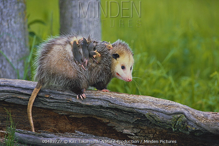 Virginia Opossum (Didelphis virginiana) female carrying her young on her back, Wapusk National Park, Cheanaye, Canada  -  Kaz Takahashi/ Nature Production