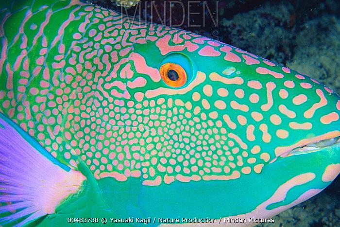 Red-speckled Parrotfish (Cetoscarus bicolor) facial skin  -  Yasuaki Kagii/ Nature Production