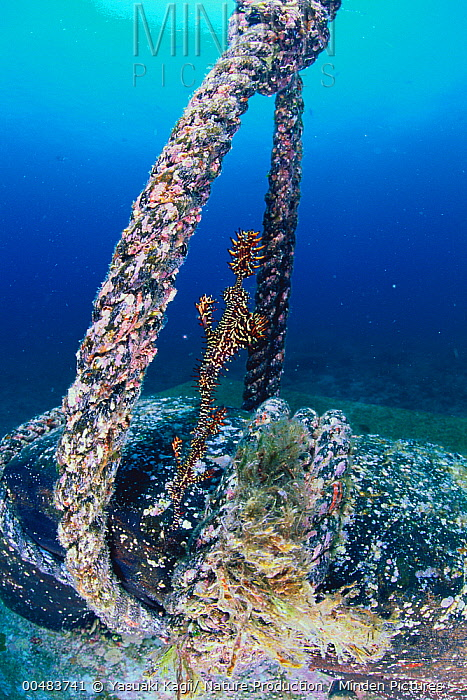 Harlequin Ghost Pipefish (Solenostomus paradoxus) near a submerged rope  -  Yasuaki Kagii/ Nature Production
