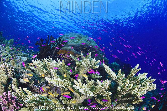 Yellowstripe Anthias (Pseudanthias tuka) school swimming around hard coral, Milne Bay, Papua New Guinea  -  Yasuaki Kagii/ Nature Production