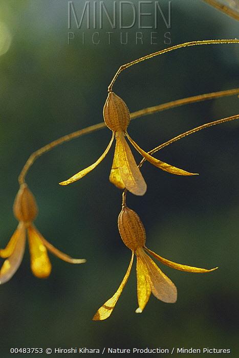 Tsukubane (Buckleya lanceolata) flowers, Yamanashi, Japan  -  Hiroshi Kihara/ Nature Productio