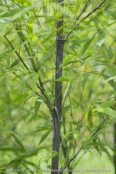 Black Bamboo (Phyllostachys nigra), Fuji Banboo Garden, Shizuoka, Japan  -  Hiroshi Kihara/ Nature Productio