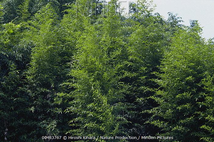 Japanese Timber Bamboo (Phyllostachys bambusoides) forest, Nara, Japan  -  Hiroshi Kihara/ Nature Productio