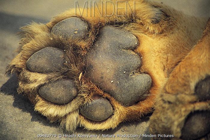 African Lion (Panthera leo) paw, Saitama, Japan  -  Hiroshi Komiyama/ Nature Product
