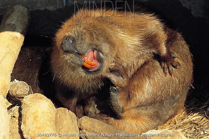 European Beaver (Castor fiber) scratching its chin, Saitama, Japan  -  Hiroshi Komiyama/ Nature Product