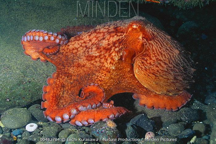 Pacific Giant Octopus (Octopus dofleini), Shiretoko Peninsula, Hokkaido, Japan  -  Eiichi Kurasawa/ Nature Producti