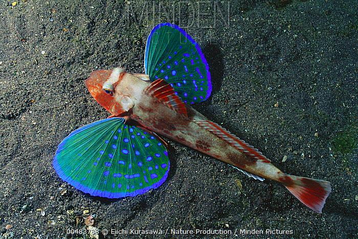 Spiny Red Gurnard (Chelidonichthys spinosus), Izu Peninsula, Japan  -  Eiichi Kurasawa/ Nature Producti
