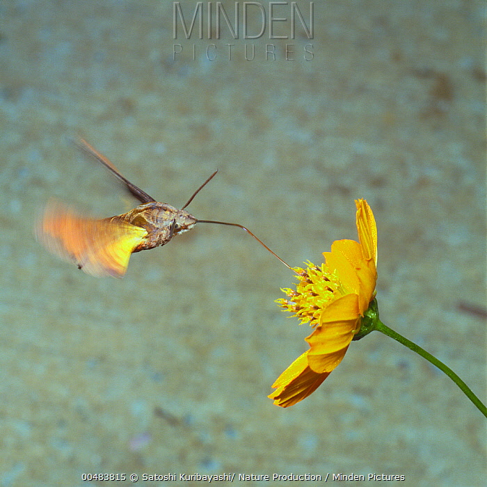 Hummingbird Hawk Moth (Macroglossum aquila) feeding on nectar at Yellow Cosmos (Cosmos sulphureus)  -  Satoshi Kuribayashi/ Nature Prod