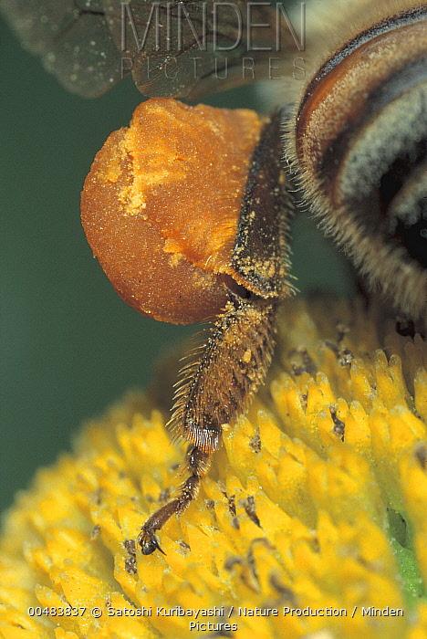 Honey Bee (Apis mellifera) carrying a ball of pollen on its leg, Nagasaki, Japan  -  Satoshi Kuribayashi/ Nature Prod