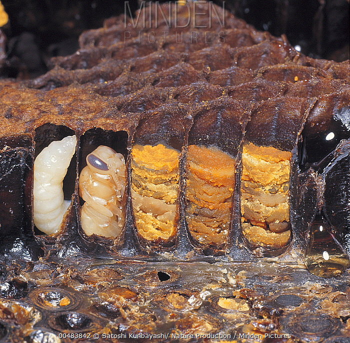 Honey Bee (Apis mellifera) larva, pupa and pollen storage in honeycomb, Nagasaki, Japan  -  Satoshi Kuribayashi/ Nature Prod