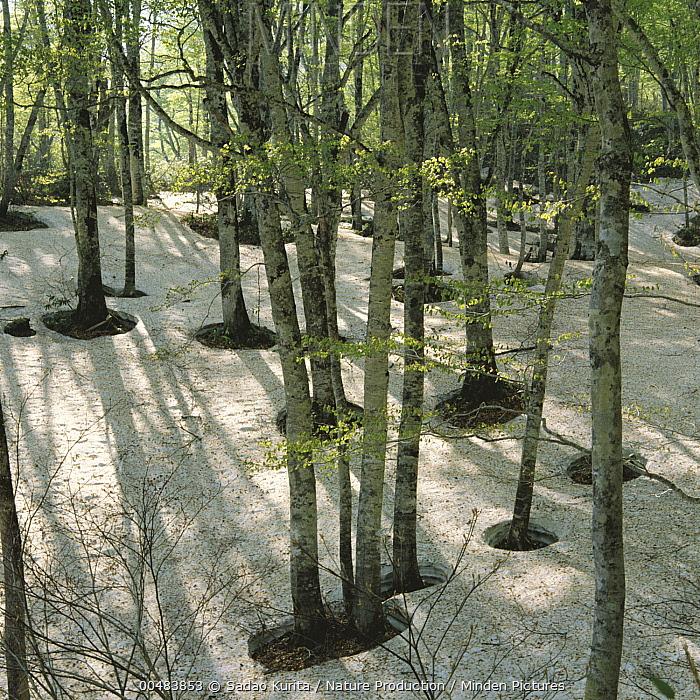 Japanese Beech (Fagus crenata) forest in melting snow, Nagano, Japan  -  Sadao Kurita/ Nature Production