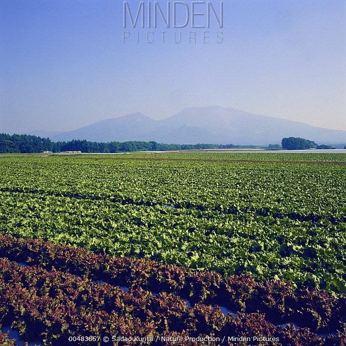 Lettuce (Lactuca sativa) crop field, Nagano, Japan  -  Sadao Kurita/ Nature Production