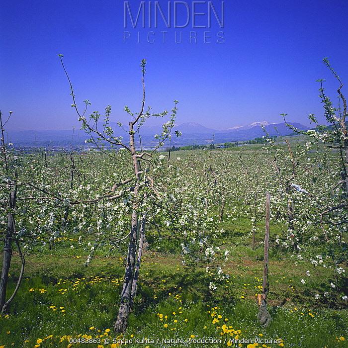 Cultivated Apple (Malus domestica)tree saplings blooming in orchard, Nagano, Japan  -  Sadao Kurita/ Nature Production