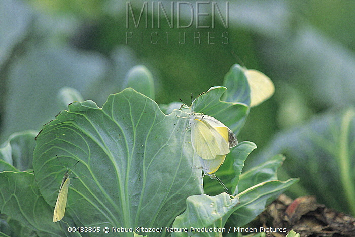 Cabbage White (Pieris rapae) butterfly on Cabbage (Brassica oleracea)  -  Nobuo Kitazoe/ Nature Production