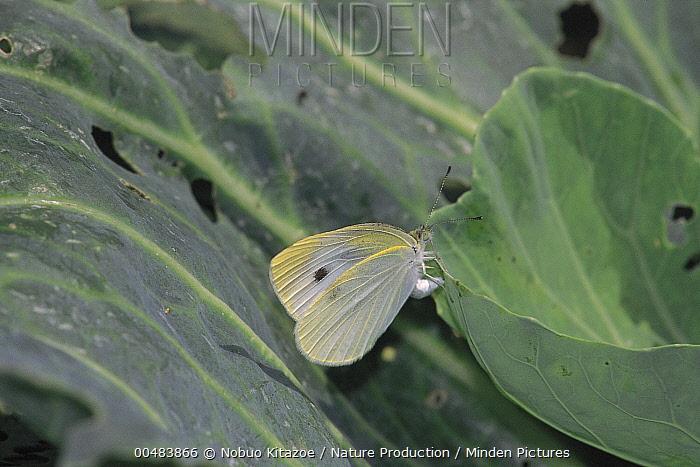 Cabbage White (Pieris rapae) on Cabbage (Brassica oleracea)  -  Nobuo Kitazoe/ Nature Production