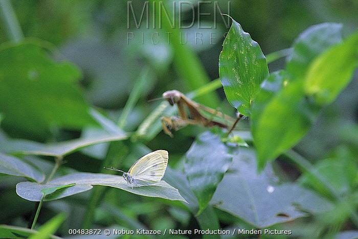 Chinese Mantis (Tenodera aridifolia) and Cabbage White (Pieris rapae) on leaves  -  Nobuo Kitazoe/ Nature Production