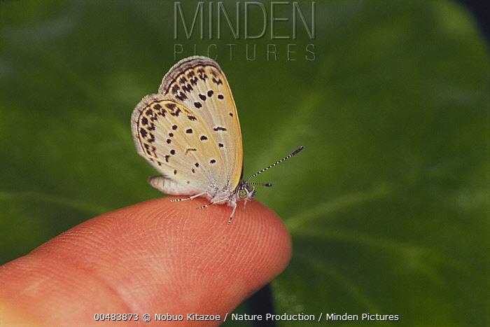 Pale Grass Blue (Zizeeria maha) butterfly on finger  -  Nobuo Kitazoe/ Nature Production