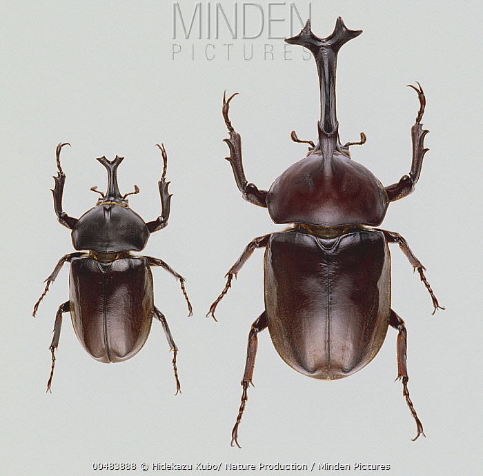 Japanese Rhinoceros Beetle (Trypoxylus dichotomus) males with different-length horns  -  Hidekazu Kubo/ Nature Production