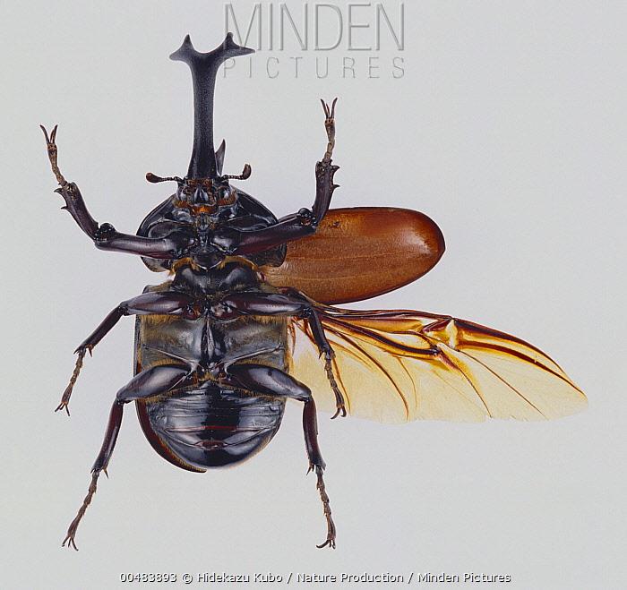 Japanese Rhinoceros Beetle (Trypoxylus dichotomus) showing spread wing and elytra  -  Hidekazu Kubo/ Nature Production