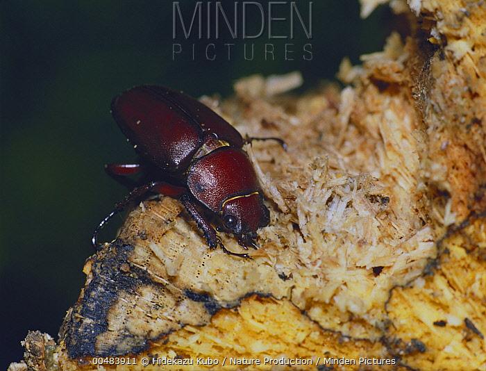Saw Stag Beetle (Prosopocoilus inclinatus) female  -  Hidekazu Kubo/ Nature Production