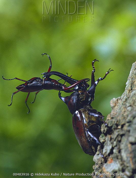 Japanese Rhinoceros Beetle (Trypoxylus dichotomus) and Saw Stag Beetle (Prosopocoilus inclinatus) locking horns  -  Hidekazu Kubo/ Nature Production