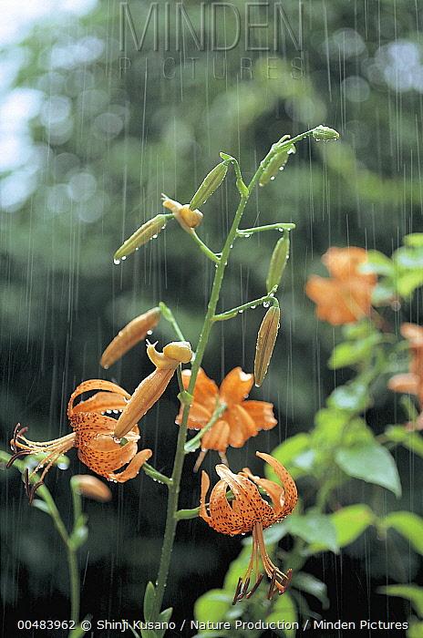 Korean Round Snail (Acusta despecta) pair climbing lily in rain, Nagasaki, Japan  -  Shinji Kusano/ Nature Production