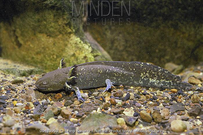Mexican Axolotl (Ambystoma mexicanum)  -  Shinji Kusano/ Nature Production
