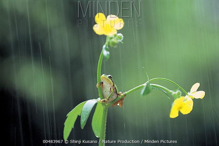 Japanese Tree Frog (Hyla japonica) in rain, Nagasaki, Japan  -  Shinji Kusano/ Nature Production