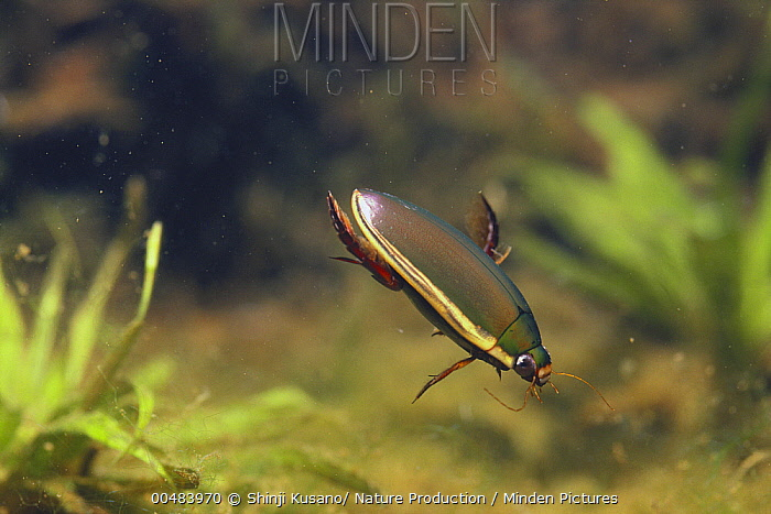 Japanese Predacious Diving Beetle (Cybister japonicus)  -  Shinji Kusano/ Nature Production