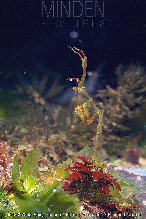 Amphipod (Caprella scaura)  -  Shinji Kusano/ Nature Production