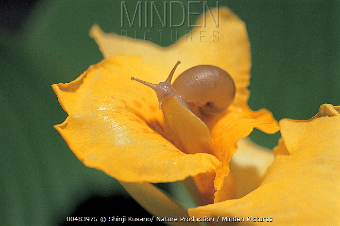 Korean Round Snail (Acusta despecta) on Canna (Canna sp), Nagasaki, Japan  -  Shinji Kusano/ Nature Production