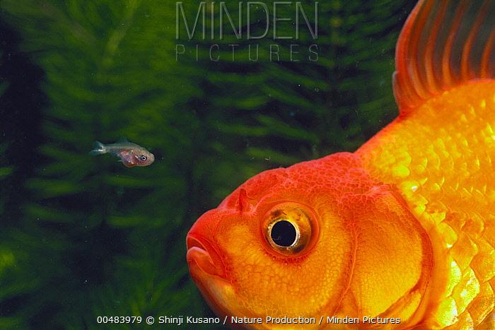 Goldfish (Carassius auratus) adult and tiny juvenile  -  Shinji Kusano/ Nature Production