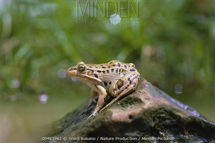 Black-spotted Frog (Rana nigromaculata)  -  Shinji Kusano/ Nature Production