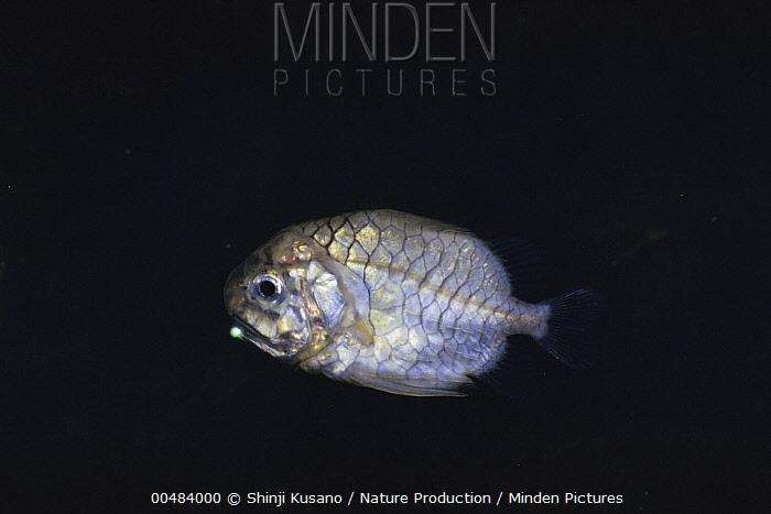 Pineconefish (Monocentris japonica)  -  Shinji Kusano/ Nature Production