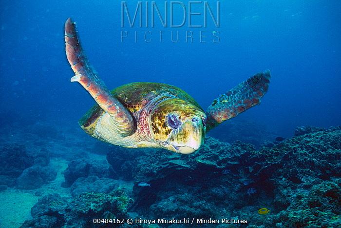 Loggerhead Sea Turtle (Caretta caretta)  -  Hiroya Minakuchi/ Nature Product