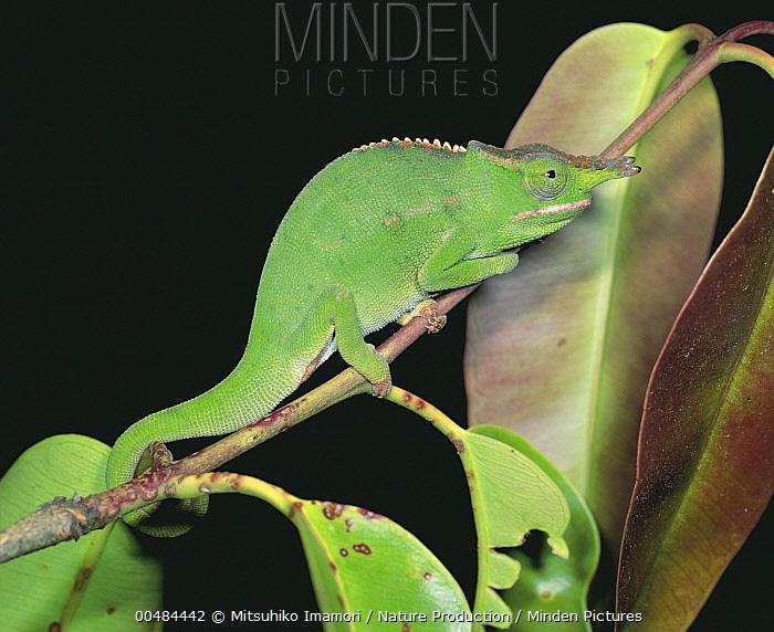 Giant Fischer Chameleon (Bradypodion fischeri), Madagascar  -  Mitsuhiko Imamori/ Nature Produc