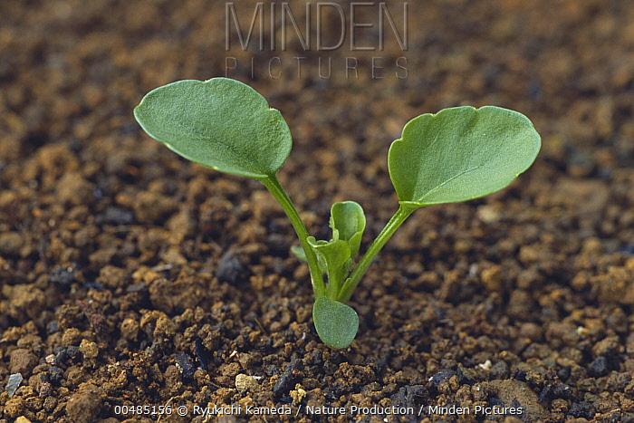 Pansy (Viola wittrockiana) seedling emerging  -  Ryukichi Kameda/ Nature Producti