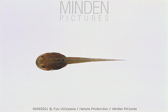 Kinugasa Flying Frog (Rhacophorus arboreus) tadpole, sequence 2 of 4  -  Ryu Uchiyama/ Nature Production