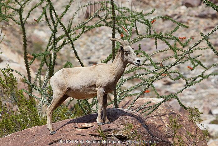 Desert Bighorn Sheep (Ovis canadensis nelsoni) female with Ocotillo (Fouquieria splendens), Anza-Borrego State Park, California  -  Richard Herrmann