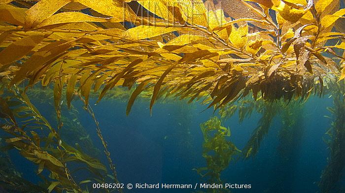 Giant Kelp (Macrocystis pyrifera) blades floating at surface, Cortez Bank, California  -  Richard Herrmann