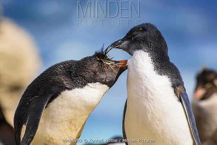 Southern Rockhopper Penguin (Eudyptes chrysocome) parent grooming chick, Falkland Islands  -  Konrad Wothe