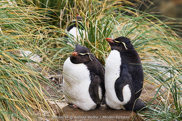 Southern Rockhopper Penguin (Eudyptes chrysocome) pair sleeping, Falkland Islands  -  Konrad Wothe