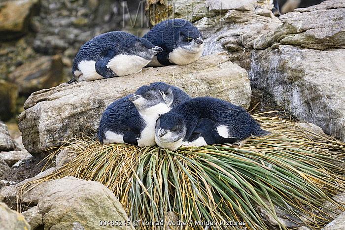Southern Rockhopper Penguin (Eudyptes chrysocome) chicks resting on tussock grass nest, Falkland Islands  -  Konrad Wothe