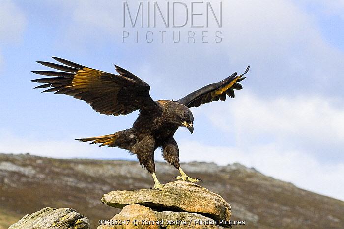 Striated Caracara (Phalcoboenus australis) landing, Carcass Island, Falkland Islands  -  Konrad Wothe